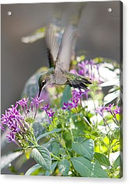Hummingbird On Penta Acrylic Print