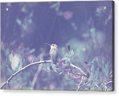 Hummingbird On Potato Vine Acrylic Print
