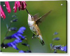 Acrylic Print featuring the photograph Hummingbird On Wendy's Wish Flower by Kathy Baccari