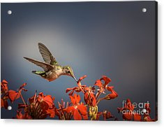 Hummingbird Or My Summer Visitor Acrylic Print by Jola Martysz