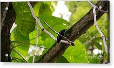 Hummingbird Out On A Limb Acrylic Print
