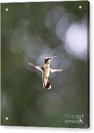 Hummingbird Pauses Erect Misty Light Acrylic Print