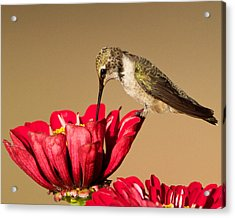Hummingbird Perched On A Zinnia Acrylic Print