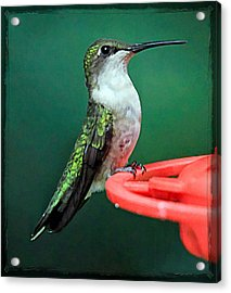 Hummingbird Perched On Feeder Acrylic Print