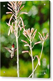 Hummingbird Pink Green - Floating Hummingbird Flashes Red Acrylic Print by Wayne Nielsen
