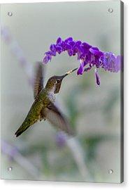 Hummingbird Series 01 Acrylic Print