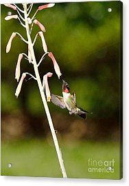 Hummingbird Sips Deep - Arches In Perfect Form Into Trumphet Acrylic Print by Wayne Nielsen