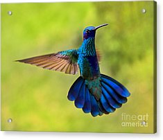 Hummingbird Splendour Acrylic Print
