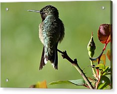 Hummingbird Visits At Sunrise Acrylic Print
