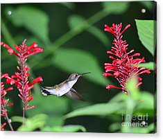 Hummingbird With Flower Red Suspension Acrylic Print by Wayne Nielsen
