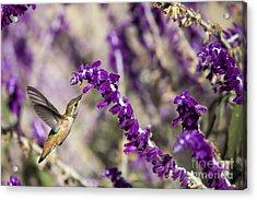 Hummingbird Collecting Nectar Acrylic Print by David Millenheft