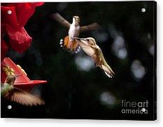 Hummingbirds At Feeder Acrylic Print