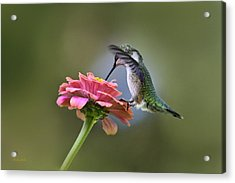 Hummingbirds Pure Goodness Acrylic Print by Christina Rollo