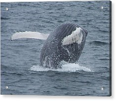 Humpback Breach Acrylic Print by Noreen HaCohen