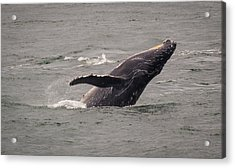 Acrylic Print featuring the photograph Humpback Whale Breaching by Janis Knight
