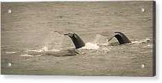 Acrylic Print featuring the photograph Humpback Flukes by Janis Knight