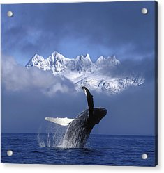 Humpback Whale Breaches In Clearing Fog Acrylic Print by John Hyde