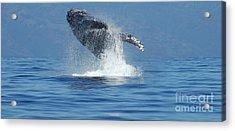 Humpback Whale Breaching Acrylic Print by Bob Christopher