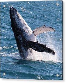 Humpback Whale Acrylic Print