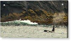 Humpback Whale Acrylic Print by Debra  Miller