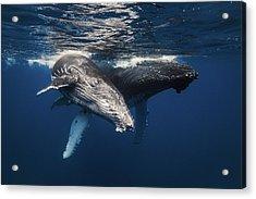 Humpback Whale Family! Acrylic Print by Barathieu Gabriel