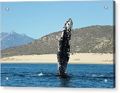 Humpback Whale Pectoral Fin Acrylic Print by Christopher Swann