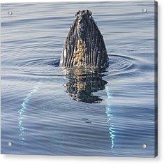 Humpback Whale Spyhopping Maui Hawaii Acrylic Print