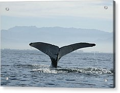 Humpback Whale Tail 3 Acrylic Print