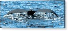 Humpback Whale Tail Off Bermuda Acrylic Print by Jeff at JSJ Photography