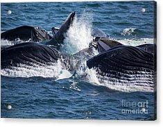 Humpback Whales Feeding Acrylic Print