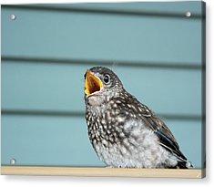 Hungry Baby Bluebird  Acrylic Print