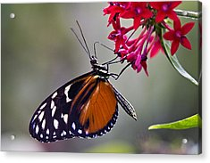Hungry Butterfly Acrylic Print