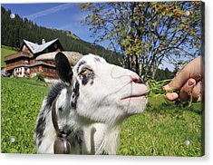 Hungry Goat Acrylic Print by Matthias Hauser