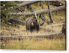 Hungry Grizzly Bear Acrylic Print