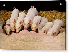 Hungry Little Piglets Acrylic Print