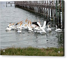 Acrylic Print featuring the photograph Hungry Pelicans by Linda Cox