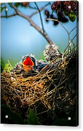 Hungry Tree Swallow Fledgling In Nest Acrylic Print