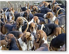 Hunter Hounds Dogs Background Acrylic Print