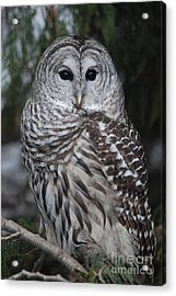 Hunter Acrylic Print by Sharon Elliott