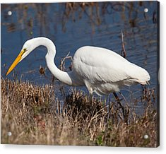 Hunting For Lunch Acrylic Print