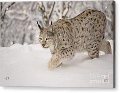Hunting Lynx Acrylic Print
