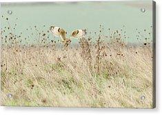 Hunting Short Eared Owl Acrylic Print by Prashant Meswani