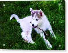Huskie Pup Playing Fetch Acrylic Print by Bill Cannon