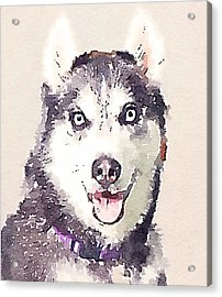 Husky Dog 1 Acrylic Print