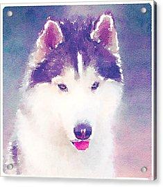Husky Dog 2 Acrylic Print