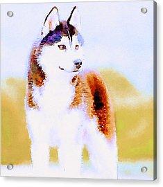 Husky Dog 3 Acrylic Print