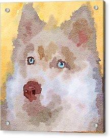 Husky Dog 4 Acrylic Print