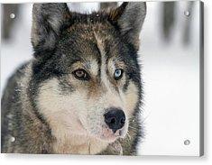 Husky Dog Breading Centre Acrylic Print by Photostock-israel