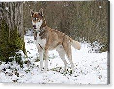 Husky In Snow Acrylic Print
