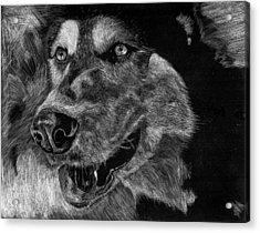 Husky Acrylic Print by Lauren Alexandra